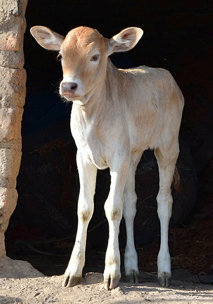 calf standing in doorway