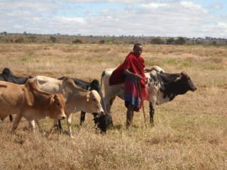 Working Cattle in Africa