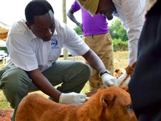 Dog vaccinations in Kenya