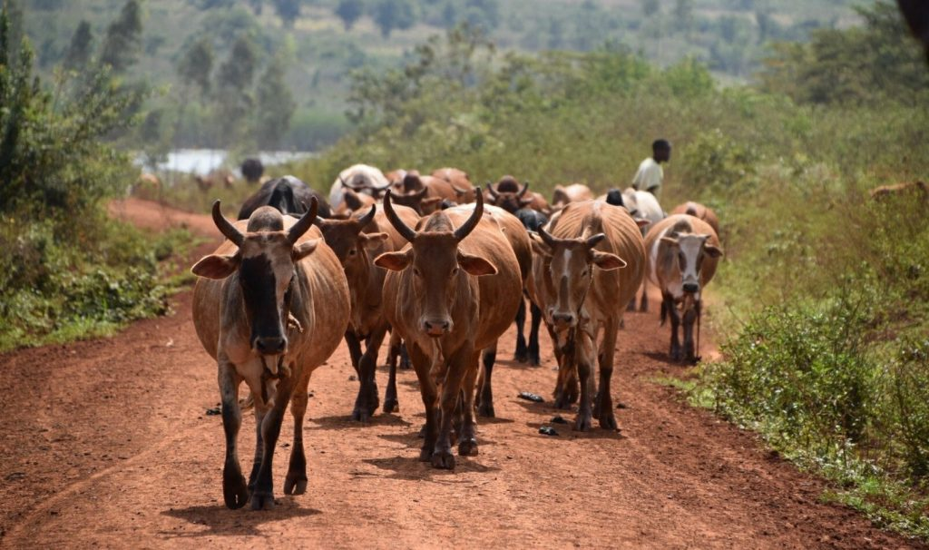 African Cattle Herd